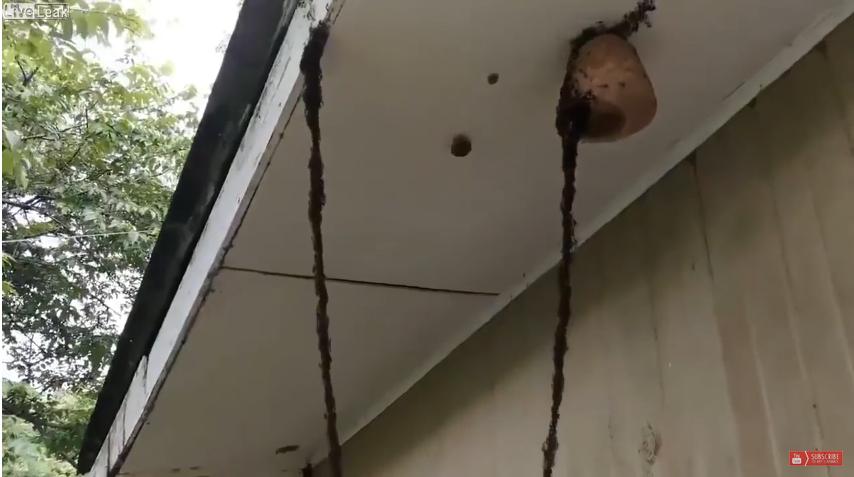 Mravenci postavili most z vlastních těl, aby mohli vyplenit vosí hnízdo