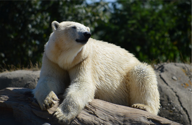Osos polares en una reserva natural