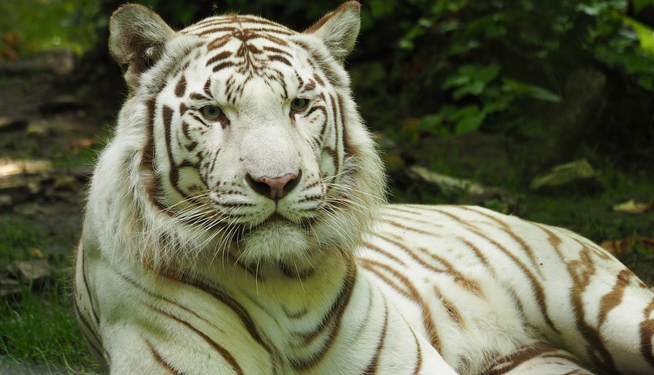 Gran variedad de leones y tigres