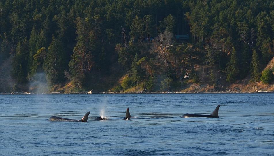 Kosatky v  Johnstonské úžině