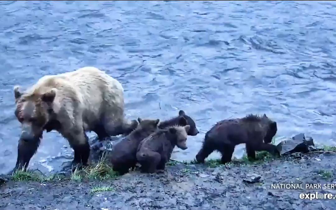 Medvědice se čtyřmi mláďaty