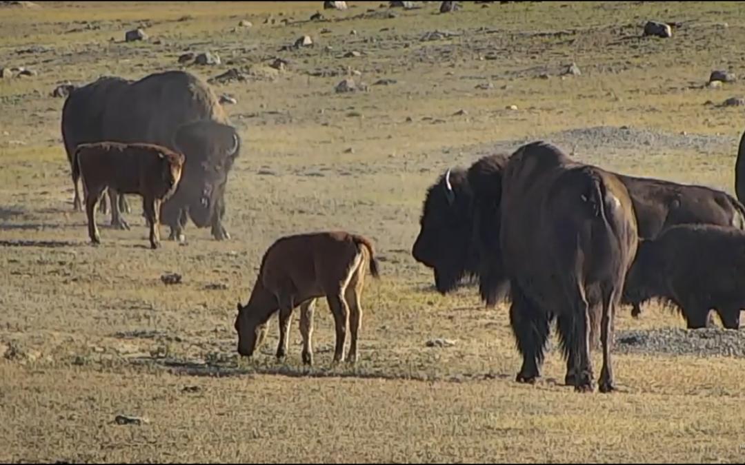 Bizoni v národním parku Grasslands