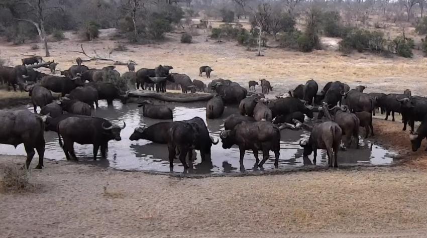 Velké stádo buvolů u napajedla