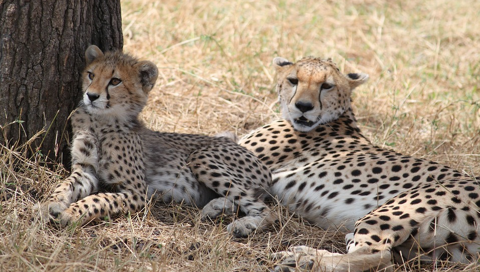 Cheetah with youngsters