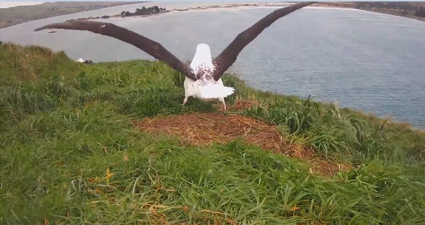Albatros královský