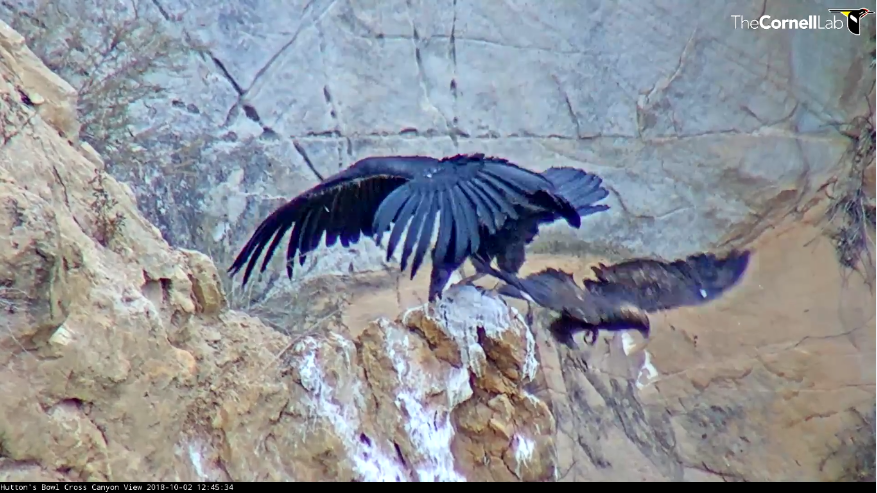 Útok orla skalního na mladého kondora kalifornského