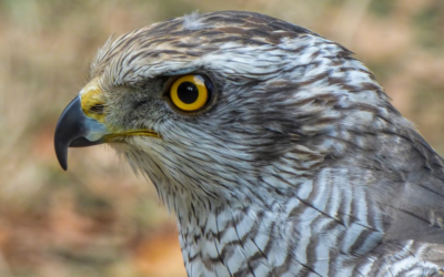 Sokol stěhovavý – Nový Jižní Wales