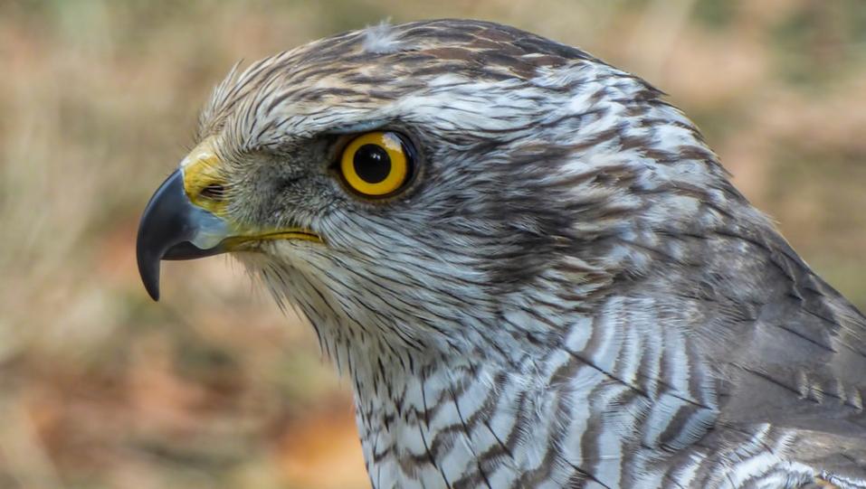 Falcon Falcon - Nouvelle-Galles du Sud