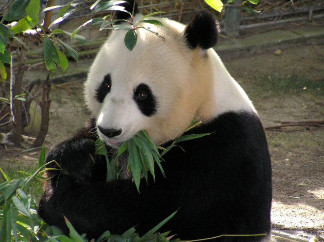 Panda Great - Naturschutzgebiet in China