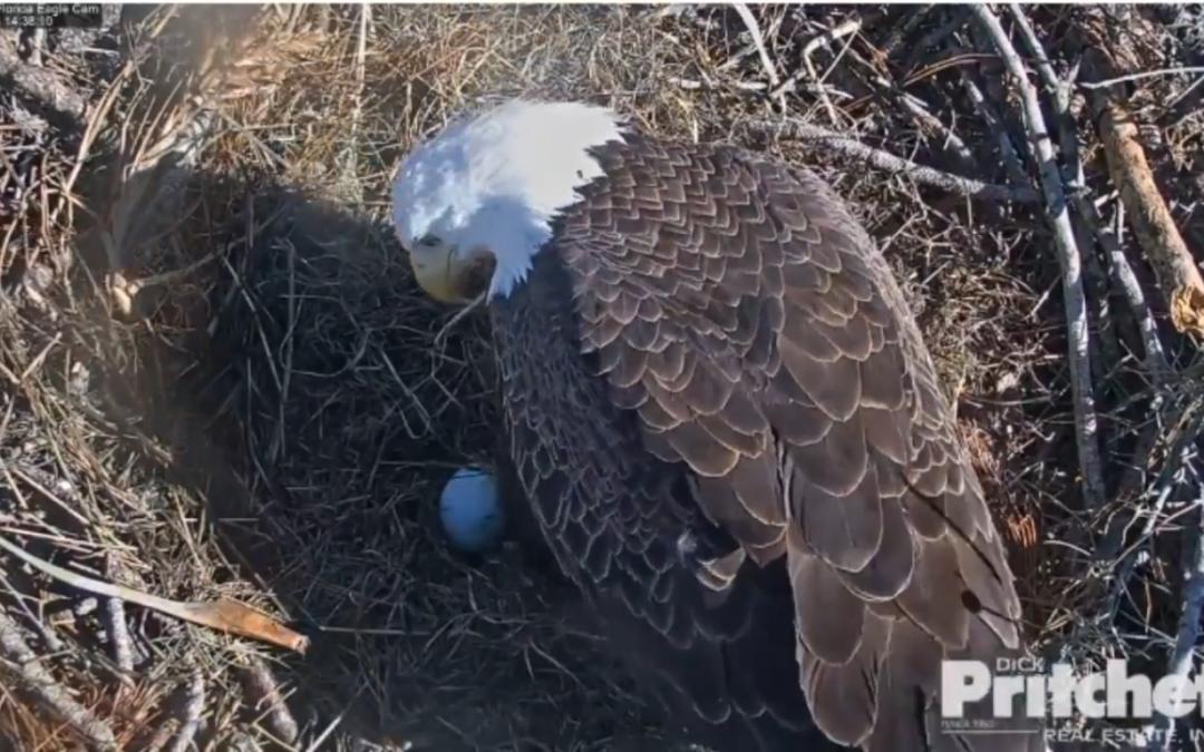 První vajíčko sezóny 2018/2019 v hnízdě orlů bělohlavých Harriet a M15
