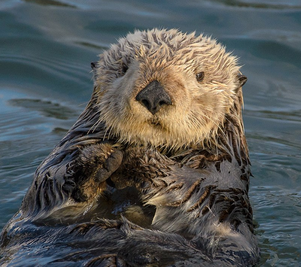 Sea otter - webcam
