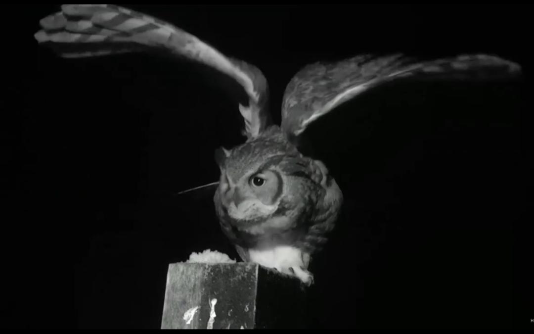 Výr virginský na hnízdě orlovců říčních