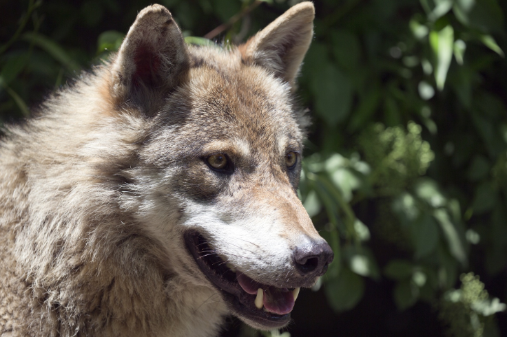 Wolf - film documentaire