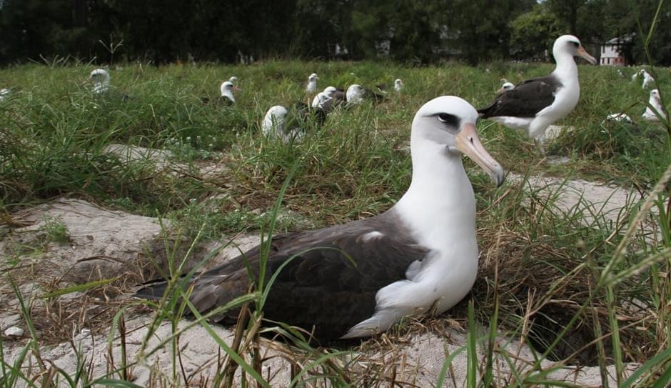 Nejstarší mořský pták na světě opět snesl vejce