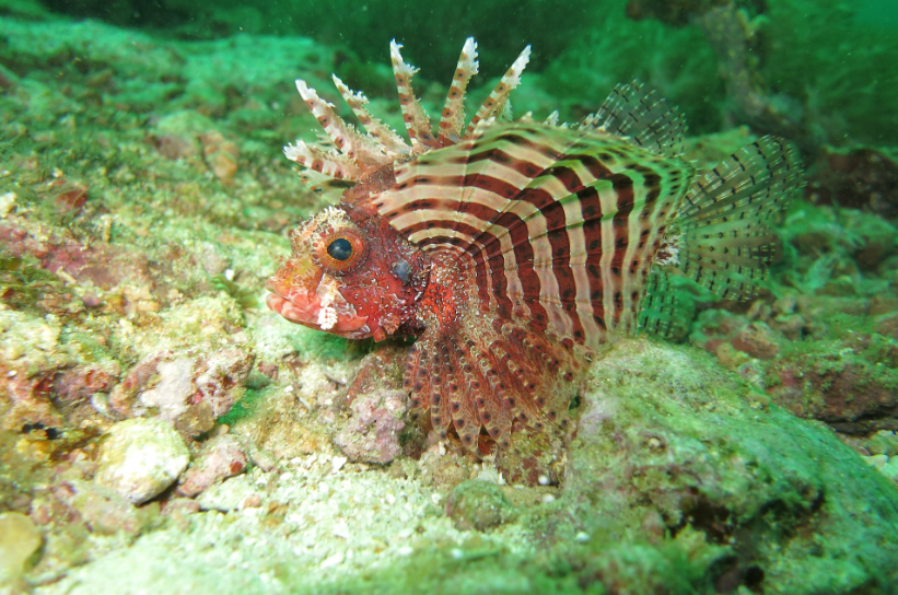 Fiery Lionfish - Film documentaire