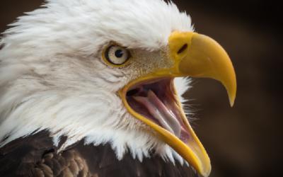 Orel bělohlavý – webkamera Pittsburgh