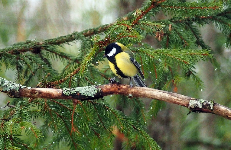 Great tit - webcam