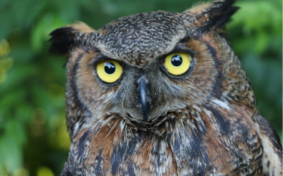 Výr virginský – webkamera z hnízda v Oklahomě