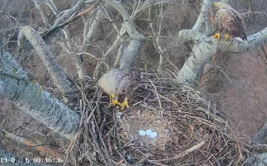 Tři vajíčka v hnízdě orlů mořských