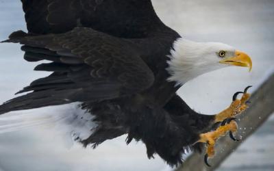 Webcam de águila calva cañón calvo