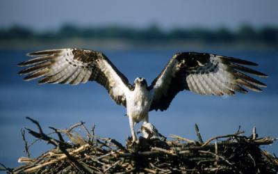 Webcam Osprey del nido en Polonia