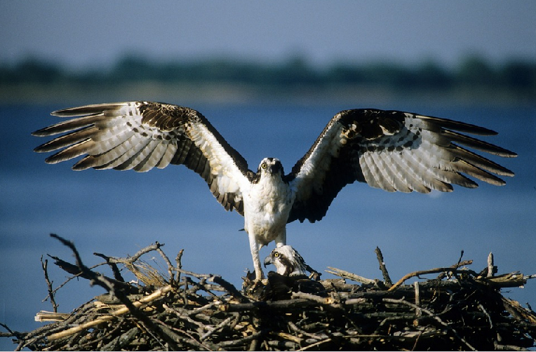 Osprey webcam from nest in Poland