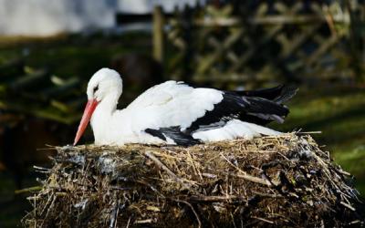 Cigüeña blanca de cigüeña Žichlínek