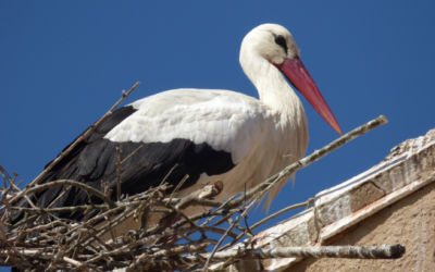 Stork nests in Bulgaria