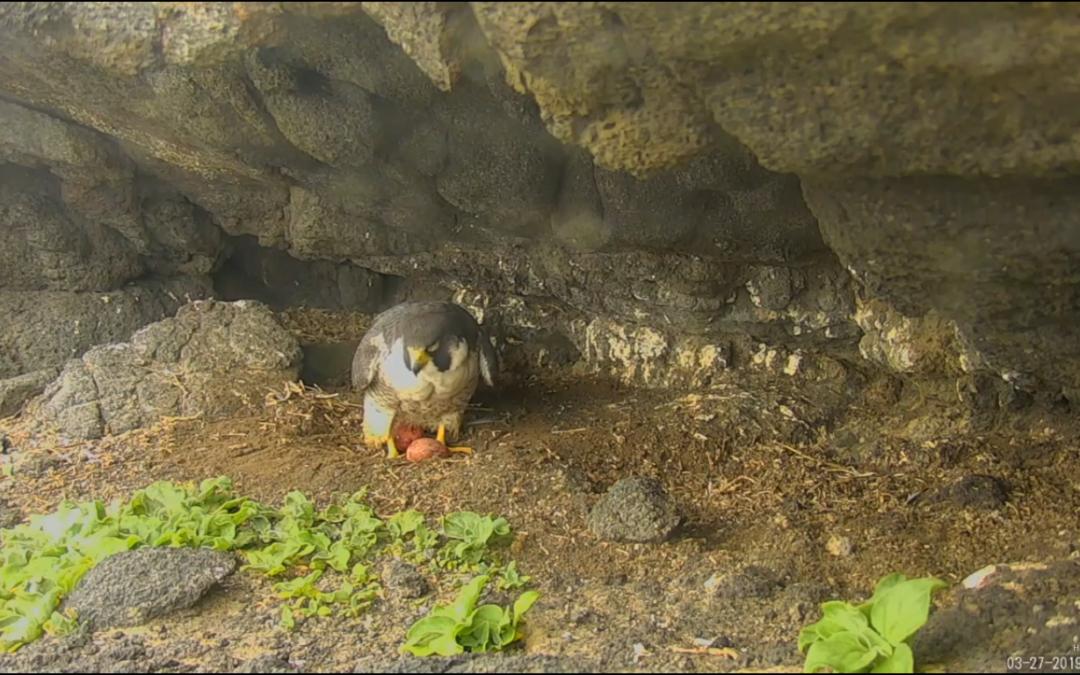 Sokoli na ostrově Anacapa