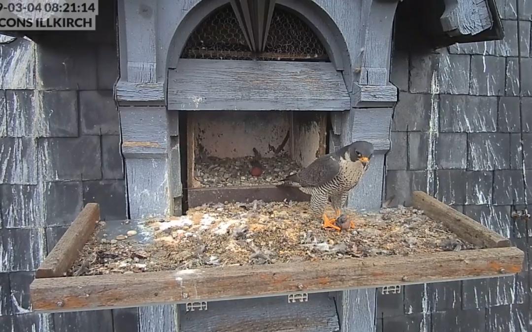 První vajíčko sokolů ve Francii