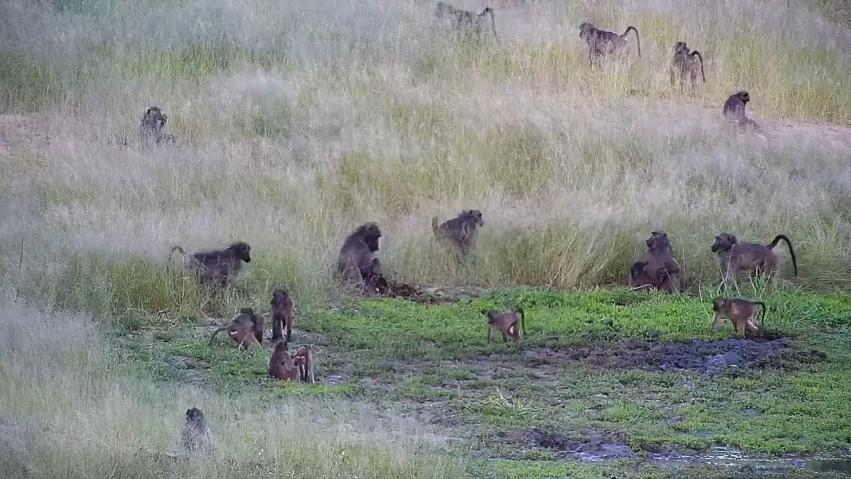 Tlupa paviánů v Jižní Africe