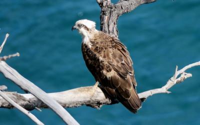 Osprey - webcam Montana