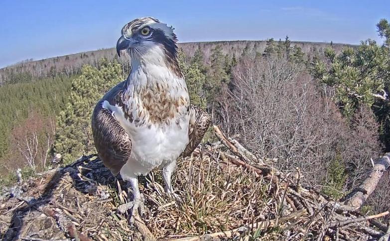 Sameček orlovce říčního Teo se vrátil do oblasti!