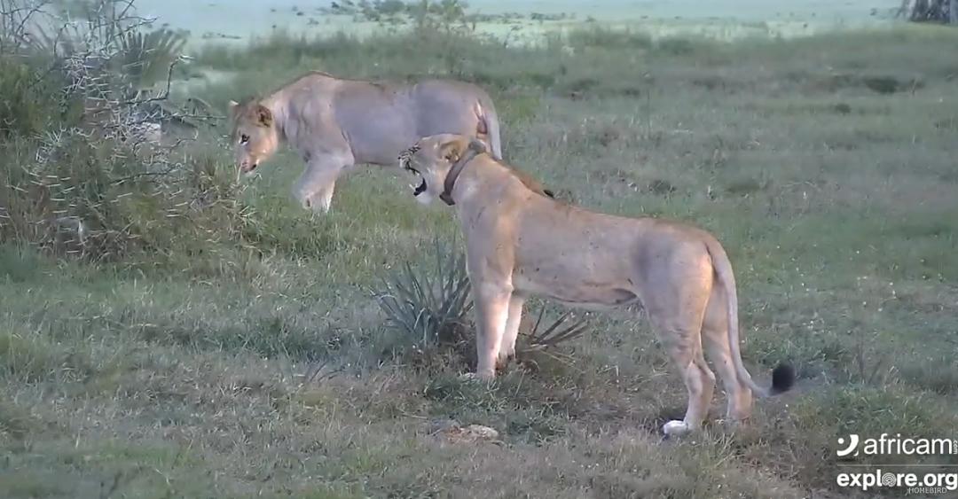Lvi u napajedla v Africe
