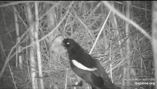 Kalous ušatý – Mláďata v hnízdě napadla straka