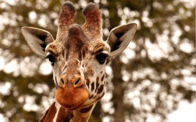 Žirafa –  Zoo Magdeburg