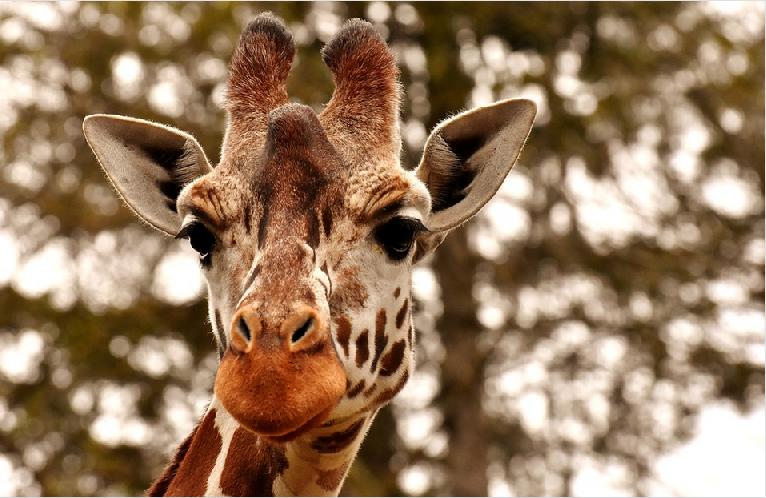 Giraffe - Zoo Magdeburg