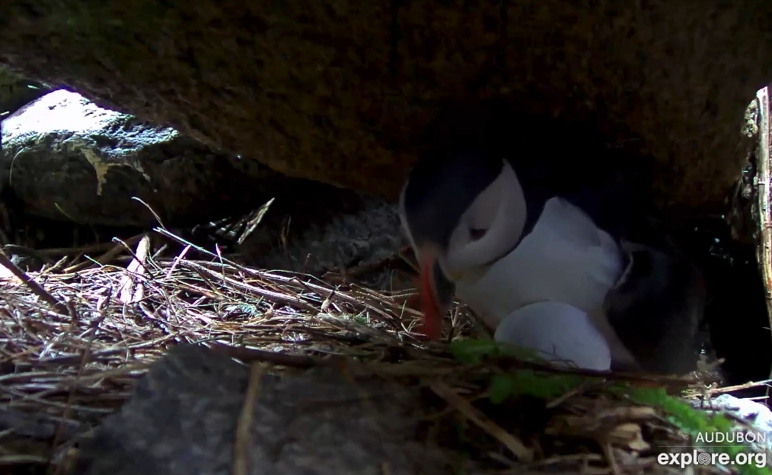 Puffin nesting on Seal Island