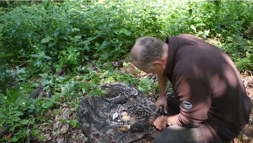 Kroužkování orlovců říčních v Polsku