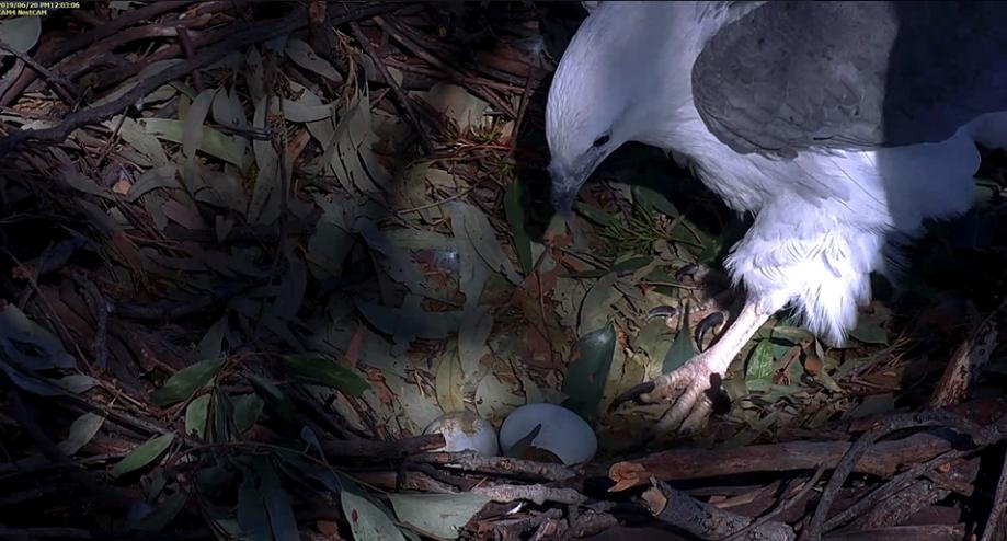 Águila De Vientre Blanco - Mujer Dama puso dos huevos