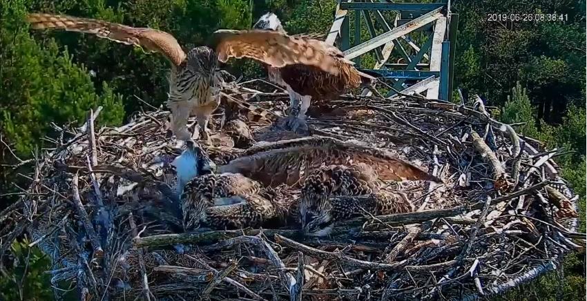 Jestřáb odnesl mladého orlovce z hnízda
