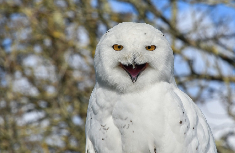 Snowy Owl - Webcam de Nest en Alaska
