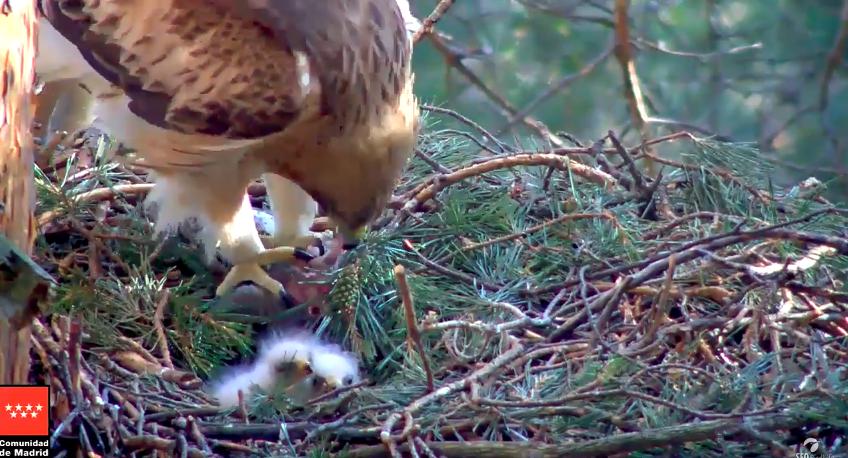 Vylíhla se mláďata orla nejmenšího