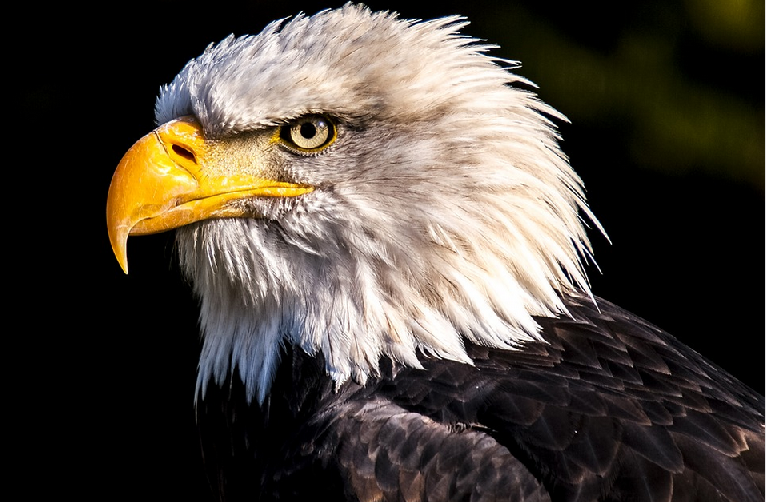 Bald Eagle - Juneau, Alaska