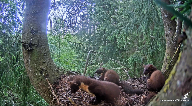 Forest marten on the nest of gaudy eagles