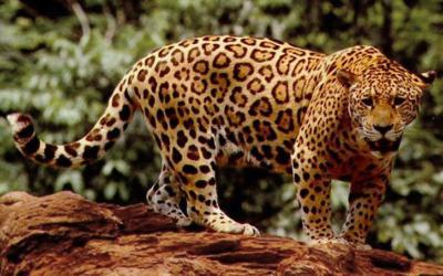 Jaguár americký – dokumentární film