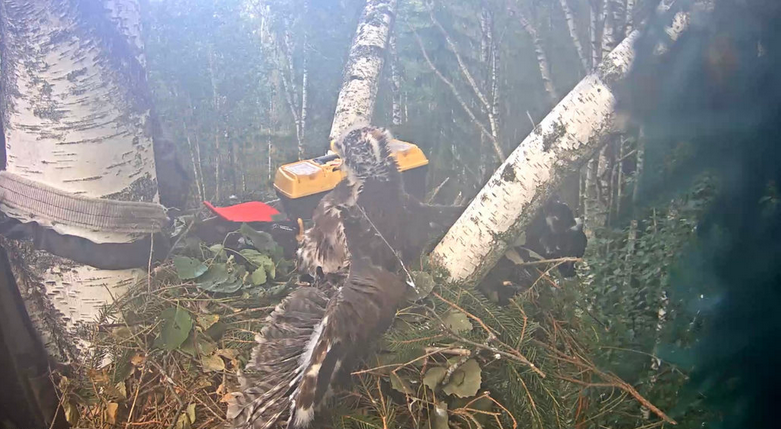 Kroužkování mladého orla křiklavého Estonsko