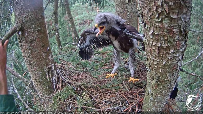 Kroužkování orla křiklavého v Lotyšsku