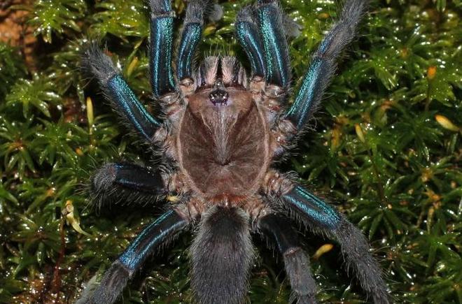 Nový obří druh pavouka v deštném pralese