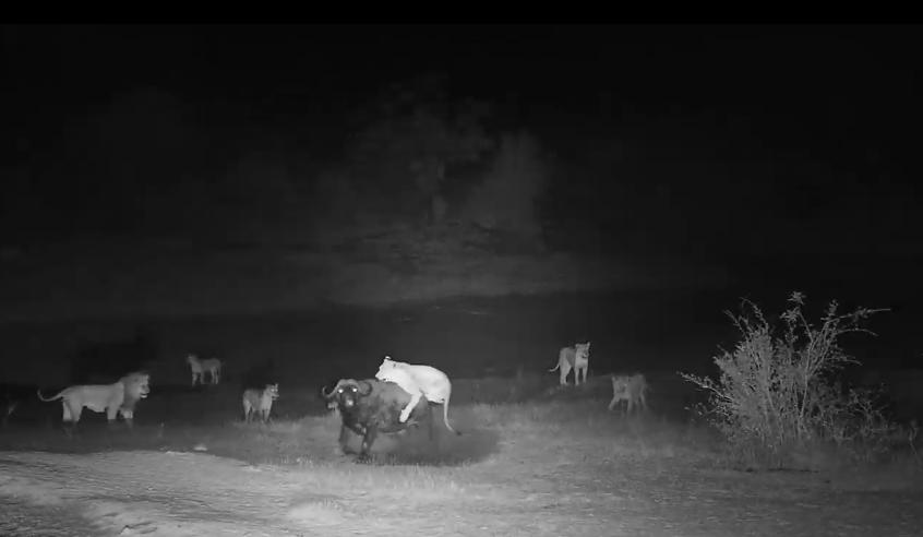 Smečka lvů na lovu u napajedla Djuma
